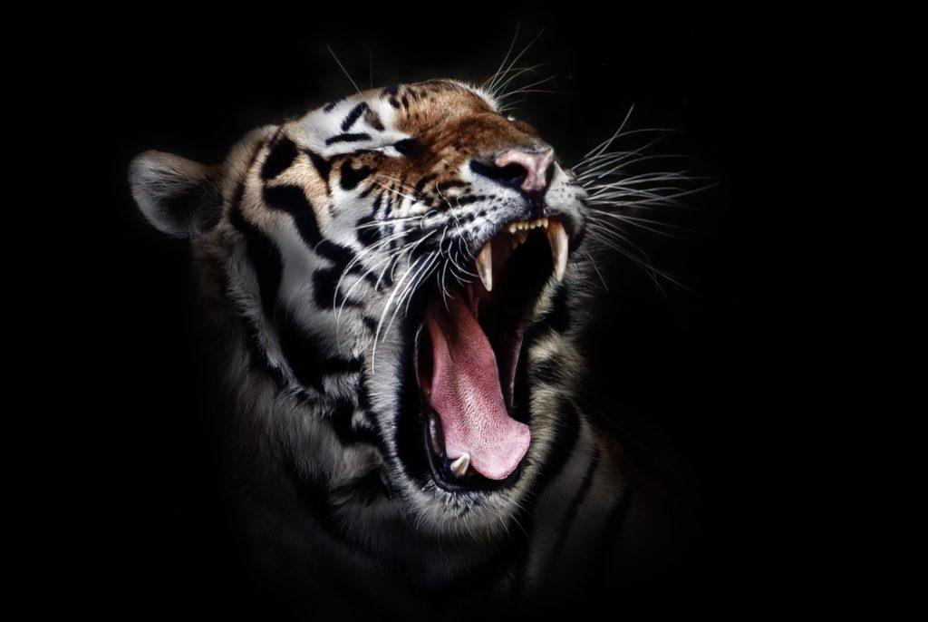 tiger-head-wildlife-animal-38278